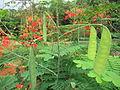 Caesalpinia pulcherrima - രാജമല്ലി 05.JPG