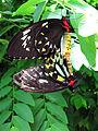 Cairns Birdwing (ornithoptera priamus) (1).jpg