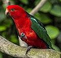 Cairns King Parrot-4 (15848001257).jpg