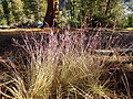Calamagrostis breweri (7842450594).jpg