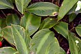 Calathea loeseneri 0zz.jpg