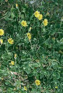 Sicilian botanical endemisms