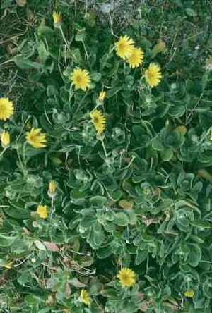 Calendula maritima - C. maritima foliage and flowers