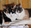 Calico and Dilute Calico.jpg