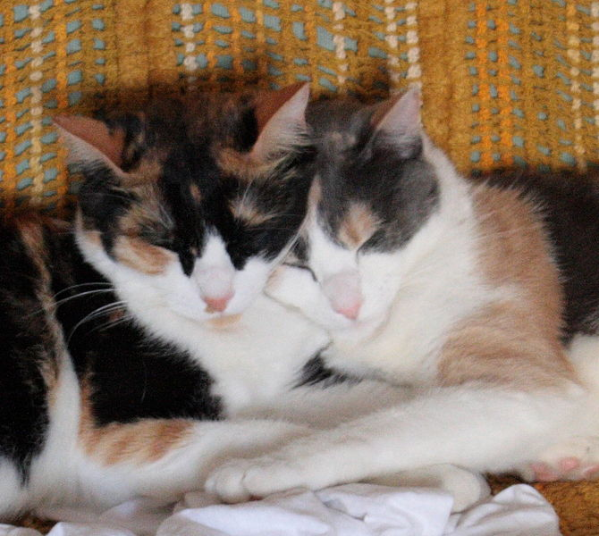 File:Calico And Dilute Calico.jpg