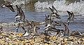 Calidris pusilla flock, Slaughter Beach, Delaware.jpg