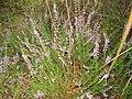 Calluna vulgaris 01.JPG