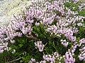 Calluna vulgaris 7.jpg