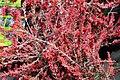 Calluna vulgaris Multicolor 3zz.jpg