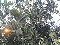 Calophyllum inophyllum (10).jpg