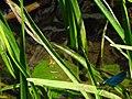 Calopteryx IMG 5472.jpg