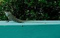 Calotes versicolor (Garden Lizard) spotted at Madhurawada 04.jpg