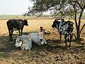 Calvim cattle.JPG