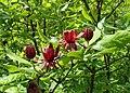 Calycanthus floridus kz06.jpg