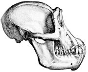 A chimpanzee skull: the jaws stick out in front this causes a prognathic face.