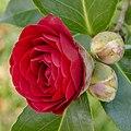 Camellia × williamsii 'Roger Hall'. 07-04-2020. (actm.) 02.jpg