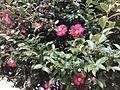 Camellia sasanqua in winter 20161217.jpg