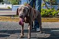 Caminata por los perros y animales Maracaibo 2012 (53).jpg