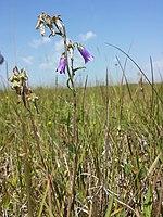 Campanula sibirica (subsp. sibirica) sl5.jpg