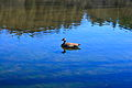 Canada Goose on a lake at Belfountain.jpg
