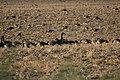 Canada goose - Branta canadensis (43053356670).jpg