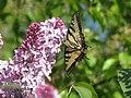 CanadianTigerSwallowtail.underside.jpg