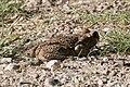 Cane Toad Bentsen Rio-Grande SP Mission TX 2018-03-20 08-26-09 (40885162152).jpg
