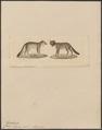 Canis azarae - 1834 - Print - Iconographia Zoologica - Special Collections University of Amsterdam - UBA01 IZ22200327.tif