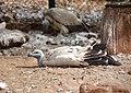 Cape vulture, De Wildt Cheetah Research Centre (South Africa).jpg