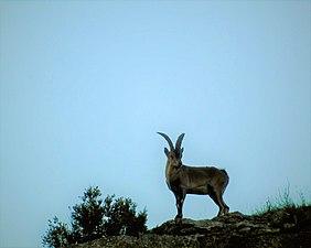 Capra pyrenaica hispanica.jpg