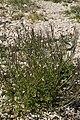 Cardamine hirsuta fresnes-au-mont 55 08042007 1.jpg