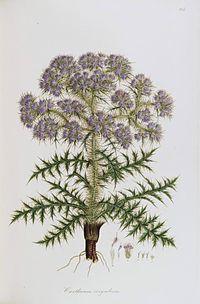 C. corymbosum