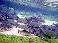 Cardume de peixes no Rio da Prata.JPG