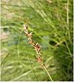 Carex divulsa inflorescens (5).jpg