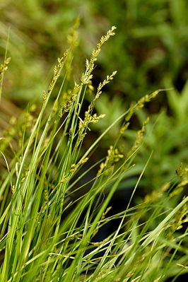 Langährige Segge (Carex Elongata)