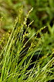 Carex elongata L. (8773147408).jpg