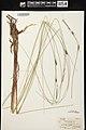 Carex lasiocarpa herbarium (2).jpg