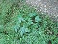 Carica pubescens Lenné and K.Koch (AM AK295334).jpg