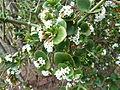 Carissa spinarum, a, Schanskop.jpg