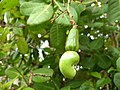 Cashew tree (Anacardium occidentale). കശുമാവ്.Fruit 3.jpg