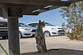 Cat on a Leash at Quail Springs Picnic Area (33494794568).jpg