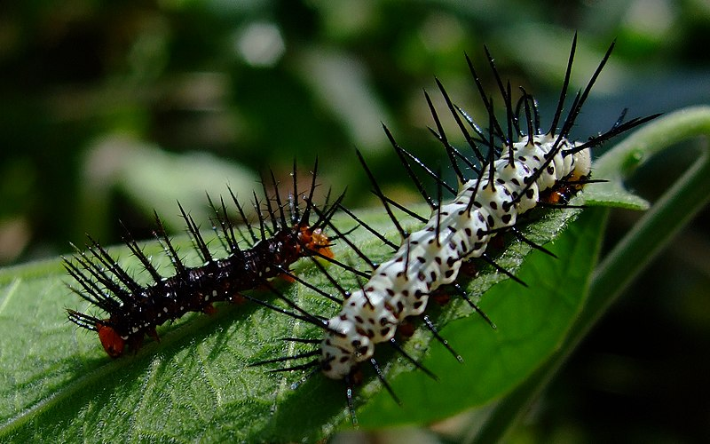 File:Caterpillar-Both-02 crop.JPG