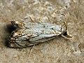 Catoptria falsella (39933446335).jpg