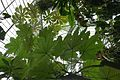 Cecropia-Jardin des plantes de Nantes (1).jpg