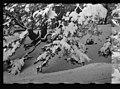 Cedars of Lebanon in snow LOC matpc.22644.jpg