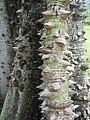 Ceiba pentandra - écorce -Habitation Clément.jpg