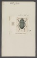 Celia - Print - Iconographia Zoologica - Special Collections University of Amsterdam - UBAINV0274 011 12 0099.tif