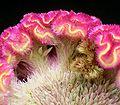 Celosia argentea cristata05 ies.jpg
