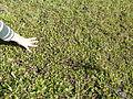 Centella asiatica habit4 (8418585372).jpg