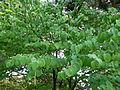Cercidiphyllum japonicum 2.JPG